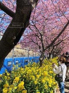 女性,花,春,桜,屋外,ピンク,電車,青,黄色,菜の花,樹木,草木
