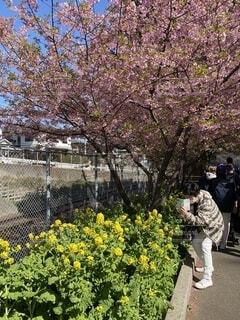 女性,花,桜,屋外,菜の花,スマホ,撮影,樹木,写真,草木