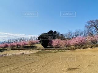 自然,風景,空,花,春,桜,屋外,ピンク,雲,青空,樹木,土,地面,畑,里山,草木