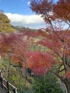秋,屋外,葉,樹木,展望台,鎌倉,長谷寺,カエデ,散策路,観音山