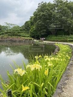 黄色,水面,池,樹木,相模原公園,花菖蒲園