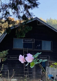 建物,花,屋外,ピンク,バラ,家,樹木,草木,牧舎