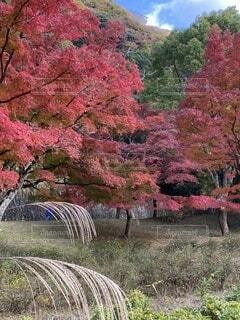 公園,秋,紅葉,森林,屋外,景色,樹木,絵画,丹沢,カエデ,ダム公園