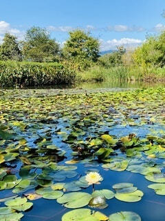自然,花,屋外,水面,池,景色,樹木,大山,草木,スイレン,遠見の池