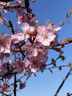 空,花,春,散歩,青い空,樹木,草木,桜の花,さくら,ブルーム,ブロッサム