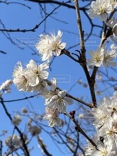 空,花,春,桜,屋外,青い空,白い,樹木,草木,ブルーム