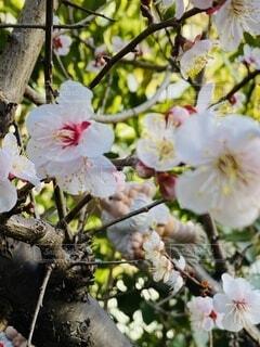 花,春,屋外,葉,樹木,梅の花,草木,我が家,裏庭,フローラ