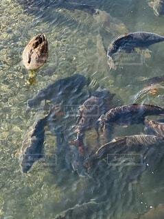 散歩中に橋の下で鯉とアヒルが共演中の写真・画像素材[4201797]