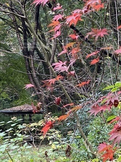 公園,紅葉,森林,屋外,樹木,横浜,草木,東屋,カエデ,四季の森公園
