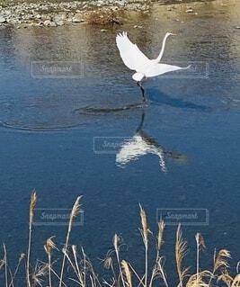 動物,屋外,川,水面,ススキ,立つ,サギ,飛び立つ,川面