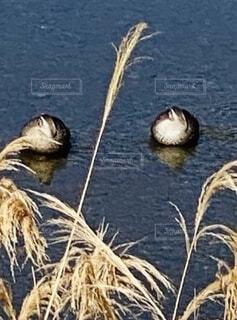 動物,鳥,屋外,川,水面,ススキ,鴨,おやすみ,カモ,散歩中