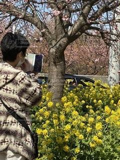 女性,花,桜,屋外,菜の花,スマホ,撮影,樹木,写真,草木,三浦海岸,早咲き桜
