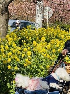 花,桜,屋外,黄色,菜の花,樹木,仔犬,三浦海岸,乳母車