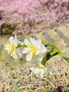 花,春,桜,屋外,草,水仙,草木,ブルーム,フローラ,おおいゆめの里
