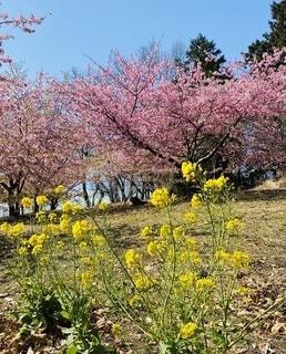 空,花,春,桜,屋外,ピンク,黄色,菜の花,景色,草,樹木,大井町,草木,おおいゆめの里