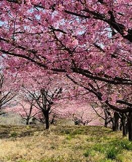 公園,花,春,屋外,草,樹木,大井町,草木,さくら,ブロッサム,足柄いこいの村