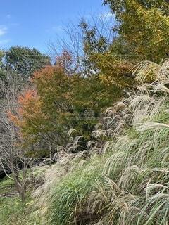 公園,紅葉,屋外,青空,葉,樹木,ススキ