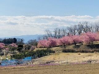 自然,空,花,春,桜,屋外,ピンク,雲,景色,草,樹木,田園,畑,大井町,里山,草木,おおいゆめの里