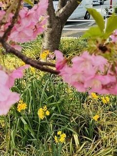 花,春,桜,屋外,ピンク,黄色,草,樹木,水仙,駅前,草木,三浦海岸