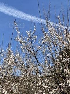 空,屋外,梅,青空,樹木,飛行機雲,小田原,草木,白梅,曽我梅林