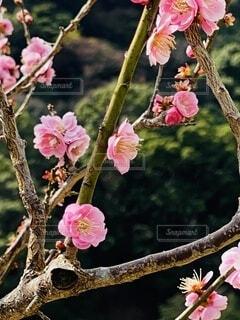 自然,風景,公園,花,春,屋外,ピンク,白,梅,景色,樹木,湯河原,草木,散策路,山腹,フローラ,湯河原梅林,幕山公園,幕山