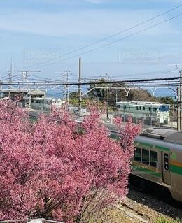 風景,空,屋外,ピンク,緑,電車,車,旅行,鉄道,車両,根府川,おかめ桜