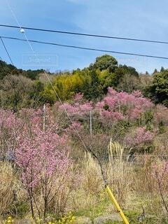 空,花,屋外,ピンク,青空,山,草,樹木,草木,根府川,おかめ桜