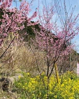 花,春,屋外,ピンク,黄色,菜の花,樹木,草木,根府川,おかめ桜
