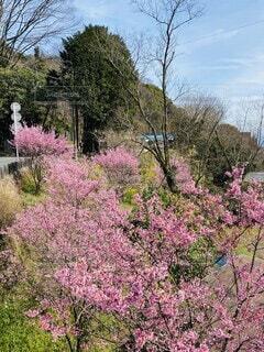 花,屋外,ピンク,樹木,草木,根府川,おかめ桜