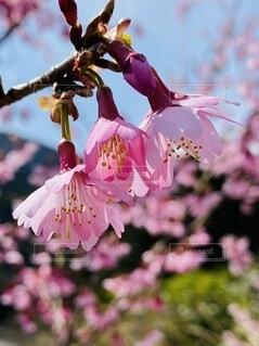 風景,空,花,屋外,ピンク,草木,根府川,ブルーム,ブロッサム,おかめ桜