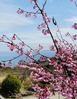 風景,海,空,花,屋外,ピンク,緑,草木,根府川,ブロッサム,おかめ桜