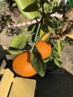 冬,果物,みかん,柑橘類,おうちみかん