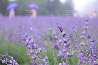 自然,風景,花,雨,傘,紫,ラベンダー,梅雨,草木,エモい,丹原
