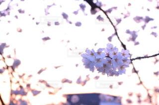 春,桜,ピンク,夕方,夕陽,さくら,エモい