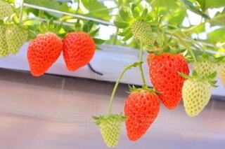 春,赤,いちご,フルーツ,果物,甘い,いちご狩り