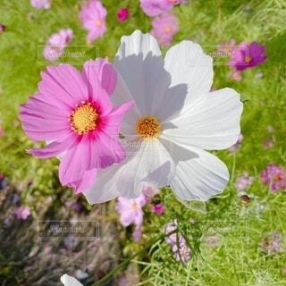 花,ピンク,白,コスモス,仲良く