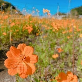 花,屋外,コスモス,オレンジ,明るい