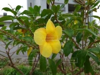 花,ハイビスカス,黄色,草木