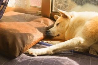 犬,動物,屋内,かわいい,光,寝る,太陽光,暖かい,睡眠,お昼寝,窓際,眠い,爆睡,日向ぼっこ,保護犬だったよ