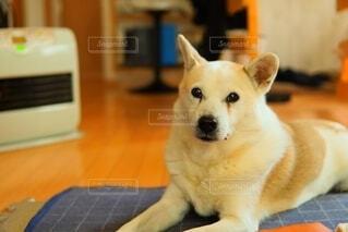 犬,動物,屋内,かわいい,ペット,座る,愛犬,見つめる,保護犬だったよ,立派な家犬