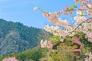 広島の桜の写真・画像素材[4283129]