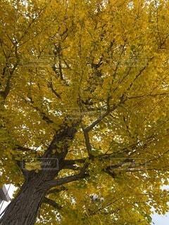 秋,紅葉,木,屋外,黄色,葉,樹木,癒し,草木,黄金色