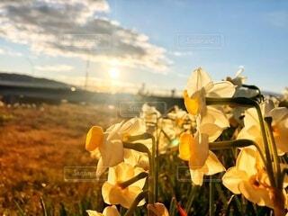 自然,空,花,太陽,雲,水仙,草木,sunrise,すいせん