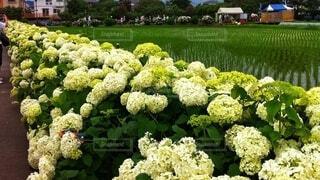 白い紫陽花と植えたばかりの稲の写真・画像素材[4078397]