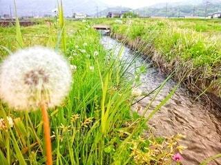 春が来たあぜ道にたんぽぽが咲いているの写真・画像素材[4078399]