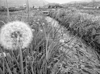 自然,風景,花,春,屋外,水面,白黒,景色,小川,草,草花,田んぼ,モノトーン,たんぽぽ,あぜ道,せせらぎ,セピア,草木,干し草,黒と白