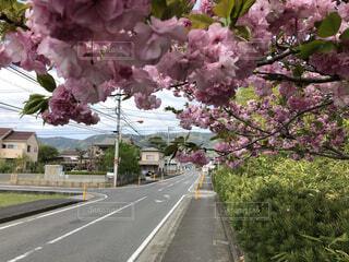 歩道まで咲く桜の写真・画像素材[4314021]