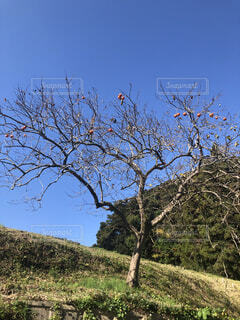 自然,風景,空,紅葉,鳥,屋外,緑,青空,オレンジ,樹木,カキ,柿,草木,山腹