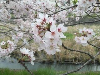 自然,風景,花,春,屋外,川,樹木,せせらぎ,草木,桜の花,さくら,ブルーム,ブロッサム