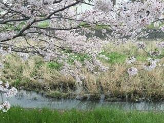 自然,花,春,屋外,湖,川,水面,池,草,樹木,せせらぎ,草木,ブルーム